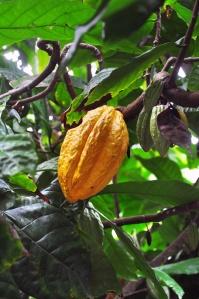 cacao pod on tree