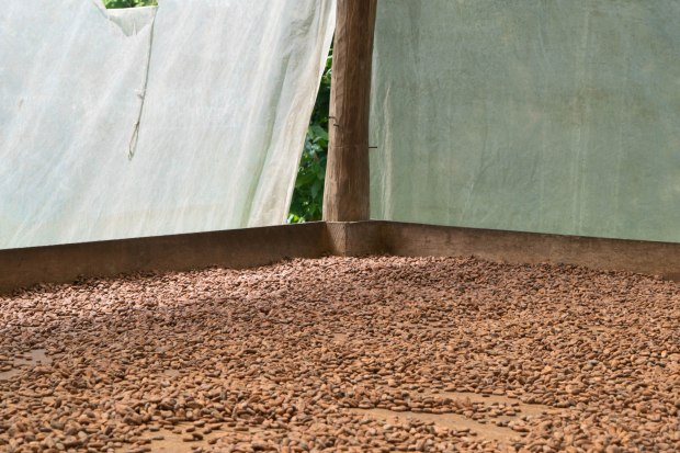 Larger volume of cacao beans drying at the facility I visited